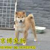 日本纯种柴犬纯血双冠日系柴犬