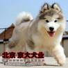 北京纯种阿拉斯加阿拉斯加雪橇犬可来犬舍直接购买