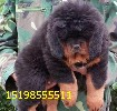 云南红河开远养犬基地卖顶级沙皮犬