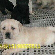 云南昆明西山宠物基地出售纯正血统阿拉斯加犬