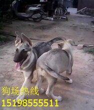 云南保山昌宁养犬基地顶级沙皮犬