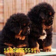 云南曲靖马龙养犬基地卖纯种卡斯罗犬