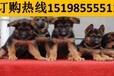 云南昭通水富宠物基地高品质金毛犬