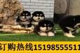 云南曲靖陆良养犬基地卖纯正血统拉布拉多犬