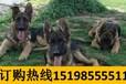 云南红河金平苗族瑶族傣族自治养犬基地卖赛级藏獒