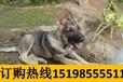 云南文山砚山哪里能买到纯种狼青犬