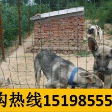 云南昆明安宁养犬基地卖纯种卡斯罗犬