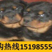 云南普洱西佤族自治狗市场出售纯正血统美国恶霸犬