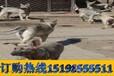 云南曲靖罗平狗场常年出售高品质巨型贵宾犬