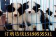 云南昆明盘龙区哪些地方狗场卖高品质昆明犬