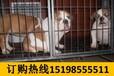 云南昆明富民哪里可以买高品质马犬
