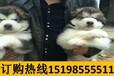 云南曲靖宣威宠物基地出售纯种博美犬