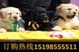 云南玉溪通海哪里能买到顶级泰迪犬