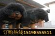 云南德宏芒狗场常年出售高品质巨型贵宾犬