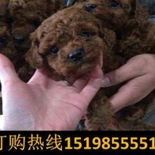 云南迪庆维西狗场常年出售高品质巨型贵宾犬