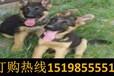 云南紅河金平寵物基地賽級柴犬