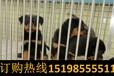 云南昆明官渡区狗市场出售纯种德国牧羊犬