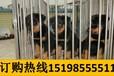 云南玉溪元江哈尼族彝族傣族自治狗市场出售顶级巴哥犬