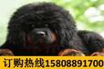 云南红河河口宠物基地顶级杜宾