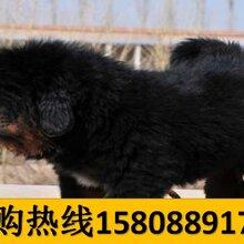 云南昭通威信养犬基地卖纯种卡斯罗犬