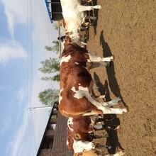 三元杂交牛,小肉牛,牛苗,小牛图片