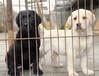 云南德宏本地的狗场在哪里本地卖拉布拉多的在哪里