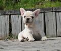 攀枝花附近哪家狗场有法国斗牛犬卖狗场常年卖法斗幼犬