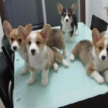 貴陽有沒有人在賣柯基犬狗場常年賣純種柯基犬