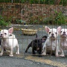 贵阳哪里有法国斗牛犬卖狗场常年卖纯种法斗幼犬