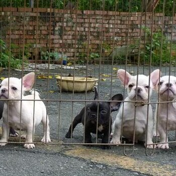 貴陽哪里有法國斗牛犬賣狗場常年賣純種法斗幼犬