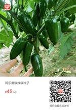 同乐港椒辣椒种子图片