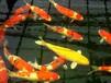 广州大型锦鲤渔场纯种日本锦鲤巨鲤65cm批发运输包损包活