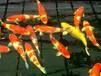 广州锦鲤渔场直销批发纯种日本锦鲤红白昭和大正丹顶50cm