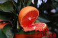 江西血橙苗赣南血橙苗卡拉卡拉红肉脐橙苗红心橙苗玫瑰血橙苗