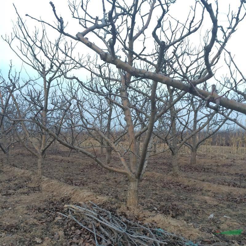 山楂樹基地10公分山楂樹價格