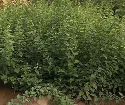 1年連翹苗價格連翹苗種植基地