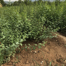 1年连翘苗价格2年连翘苗种植基地图片