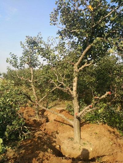 山楂樹基地出售5公分6公分7公分8公分山楂樹