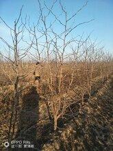 5公分枣树+8公分枣树+10公分枣树+占地枣树价格图片