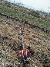 3公分苹果树3公分占地苹果树价格图片