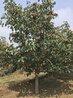 山楂树基地价格10公分12公分15公分山楂树