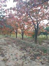出售地径10公分-15公分柿子树,低分枝50-100公分柿子树价格图片