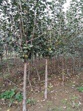 3公分苹果树苗,山西3公分苹果苗种植基地图片