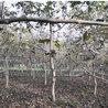 8公分-10公分核桃树基地米径12公分核桃树价格