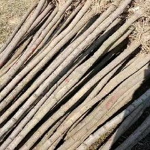 4公分國槐價格5公分造林國槐基地批發價格
