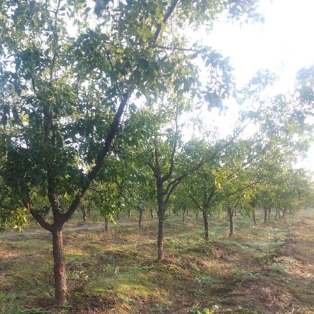 棗樹基地10公分12公分棗樹占地棗樹量大價低
