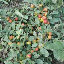 贵州鲜食钙果苗基地,欧李图片