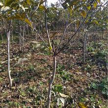 湖南专业呈盛苗圃核桃树图片
