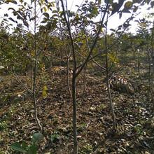山西15公分核桃树价格图片
