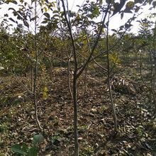 辽宁10公分呈盛苗圃核桃树图片